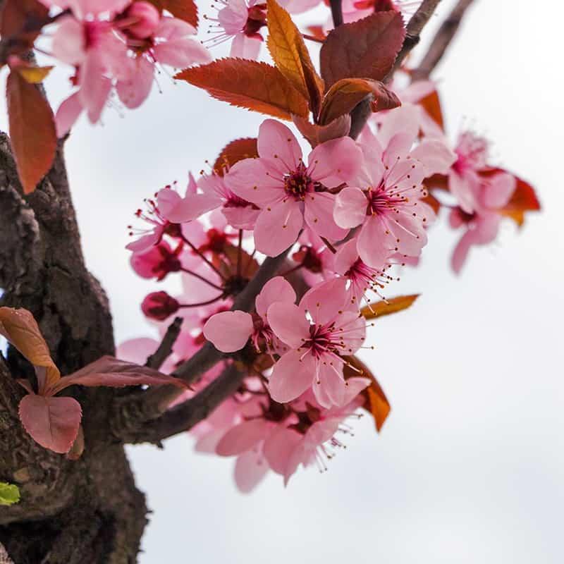 Fleur de cerisier - Parfum pour bougies Parfum volume 30 ml