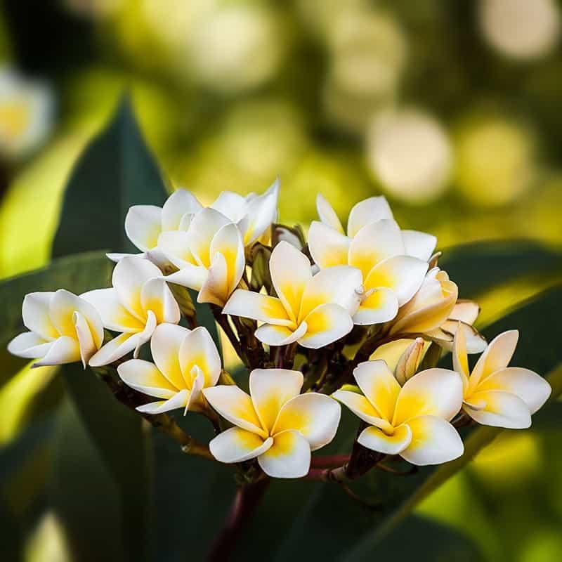 Fleur de tiaré - Parfum pour bougies Parfum volume 30 ml