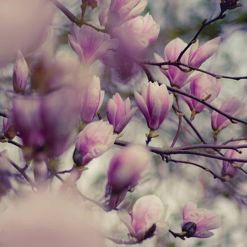 Magnolia - Parfum pour bougies Parfum volume 30 ml